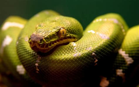 A Green Snake Wallpapers   HD Wallpapers   ID #5045