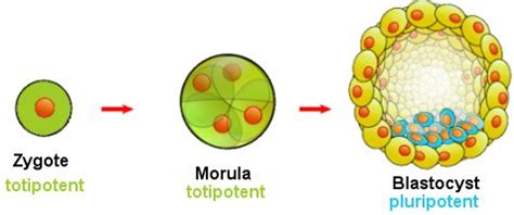 Stem Cells: Induced Ones Make The Same Proteins as