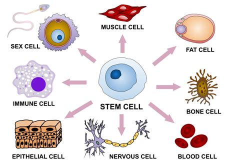Difference Between Cellular Differentiation and Cell